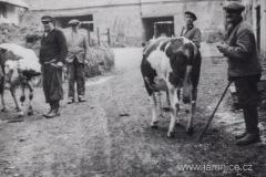 Stěhování dobytka do nově postaveného kravínu